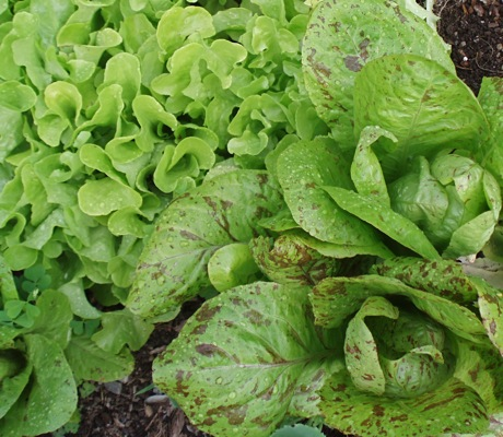 panisse lettuce, forellenschuss lettuce