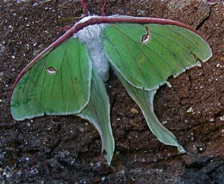 (female) luna moth, Actias luna