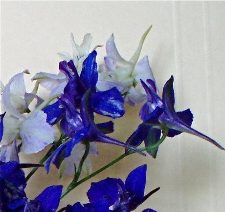 closeup of larkspur's spur
