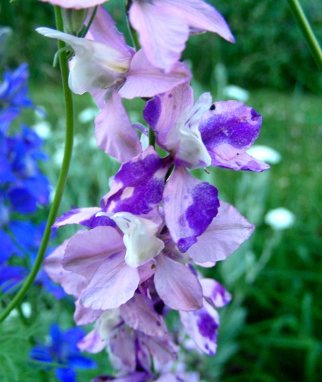 larkspur variegation purple splotch