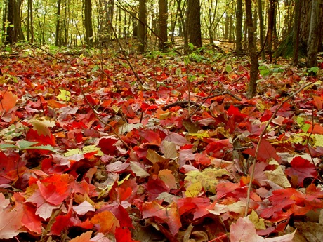 autumn leaves on forest floor