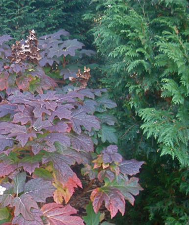 autumn color on oak leaf hydrangea
