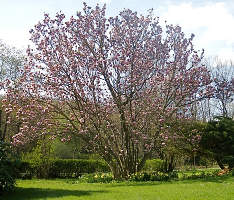 blooming giant magnolia tree