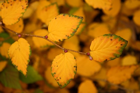Corylopsis pauciflora (buttercup winter hazel) foliage close up