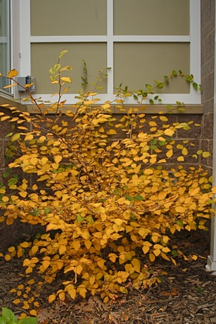 buttercup winter hazel Corylopsis pauciflora Fall foliage