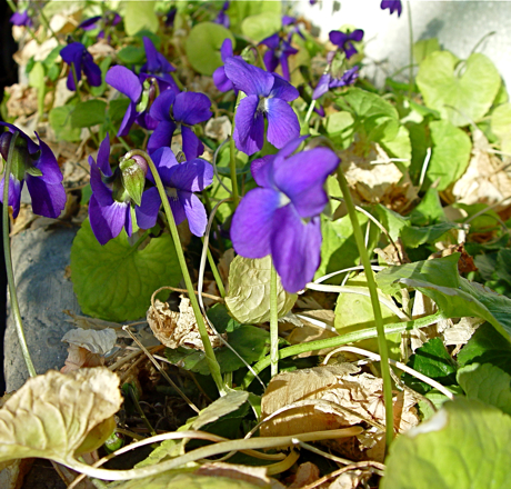 violets being forced for cutting