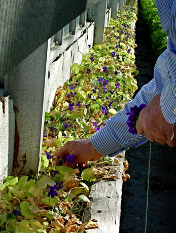 picking sweet violet  v. odorata in greenhouse