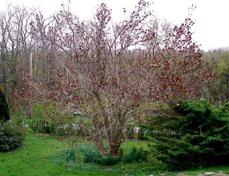 frost damaged magnolia soulangeana