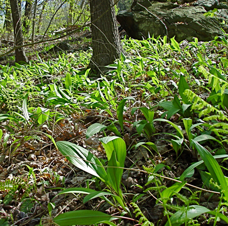 (Allium triquitum) ramps, growing in the woods