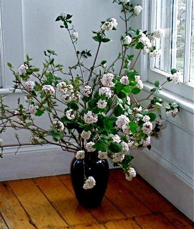 fragrant viburnum (V. carlesii) branches in a vase