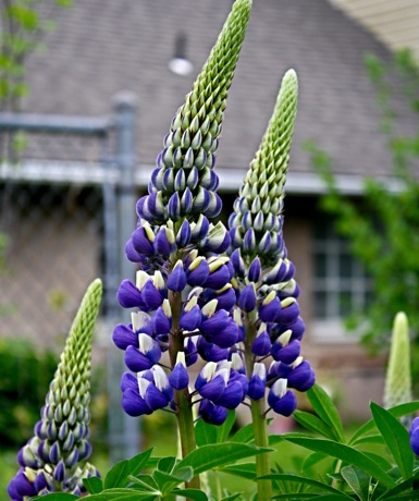 blue russell lupines close up