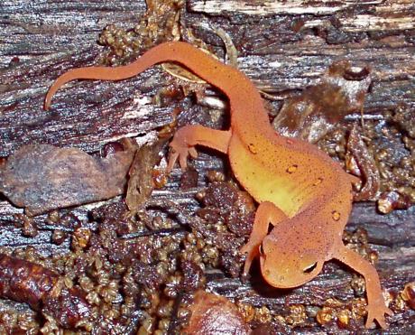 eastern newt, Notophthalmus viridescens