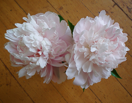 pair of pink bomb peonies