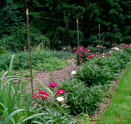 row of  large peony bushes
