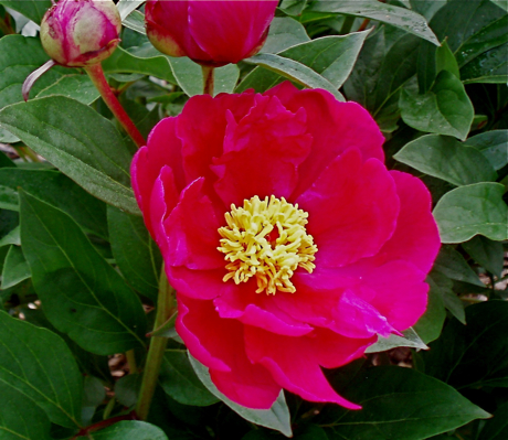 single red peony - from seedling