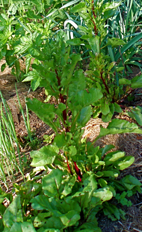 Crapaudine beet plant, second year