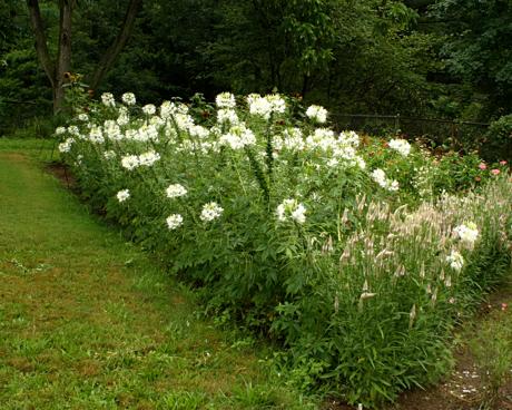 Cleome White corner C. hassleriana