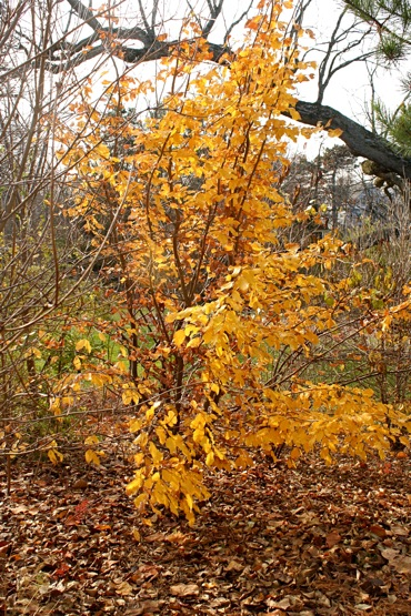 Parrotia persica (persian ironwood)