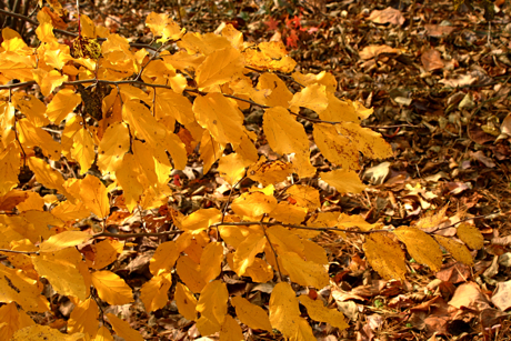 autumn leaves of parrotia persica (persian ironwood)