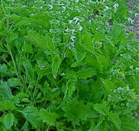 basil 'Green Ruffles' (Ocimum basilicum