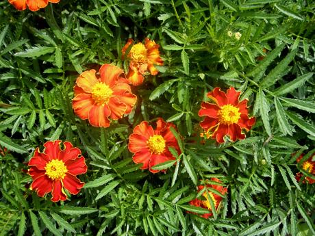 tashkent marigold