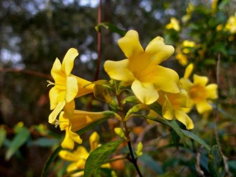 You Can Grow Fragrant Jasmine In The North Leslie Land In