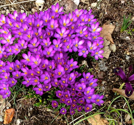 cluster of purple crocus