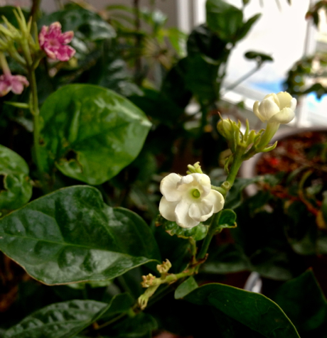 jasminum sambac flowers