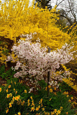 hally jolivette prunus (flowering cherry ) with forsythia and narcissi