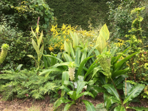 New York side garden with Eucomis, canna, and goldenrod set amongst perennial shrubs.